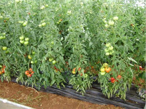 Pomidor zrije